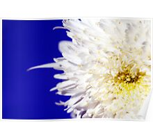 Double Daisy on Royal Blue Poster