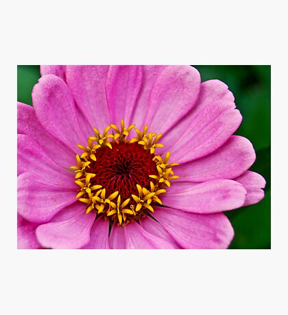 Gorgeous Pink Zinnia Photographic Print