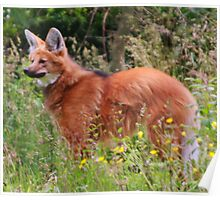 Maned Wolf Poster