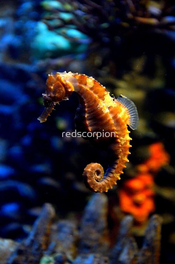 Sea Horse 2 by redscorpion