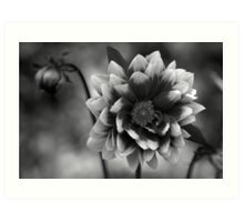 Dahlia in black & white Art Print