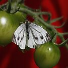 Large White on the Green Tomatoes by AnnDixon