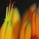 Aloe Flowers by Adéle Van Schalkwyk
