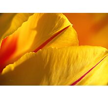 Bright Yellow And Red Tulip Photographic Print