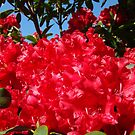 Red Rhododendrons Flowers Floral art prints by BasleeArtPrints