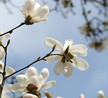 White Magnolia Flower Tree art prints Spring by BasleeArtPrints