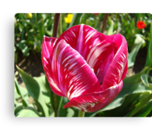 Bright Tulip Flower art prints Pink White Tulips Canvas Print