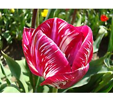 Bright Tulip Flower art prints Pink White Tulips Photographic Print