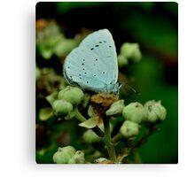 Holly Blue Canvas Print
