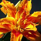 Orange Lily on black background   by Tammy Devoll