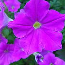 Petunias purple fun by Tammy Devoll