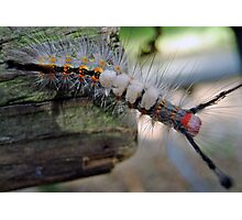 Stinging Caterpillar Photographic Print