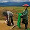 RICE WORKERS - BURMA by Michael Sheridan