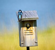 Tree Swallow Baby by basalt101