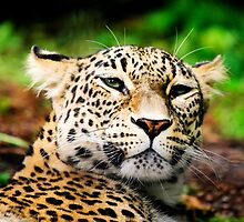 Leopard Portrait Close up  by torishaa