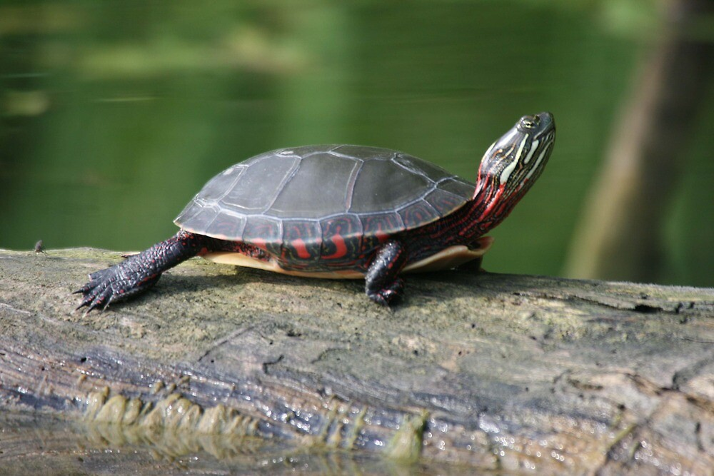 Downward Dog, Turtle Style by skyoncloud9