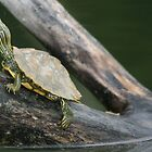 Young painted turtle by skyoncloud9