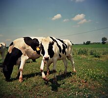 Cows in the field by jamiecwagner