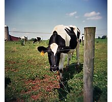 Cow in the field  Photographic Print