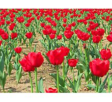 Spring Tulips - Netherlands Carillon Photographic Print