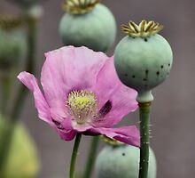 Pink Poppy by Melodie Douglas