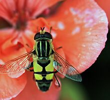 Syrphid Fly by Michael Collier