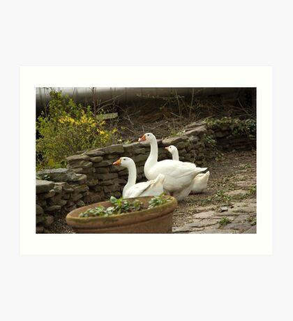 Three Geese Art Print