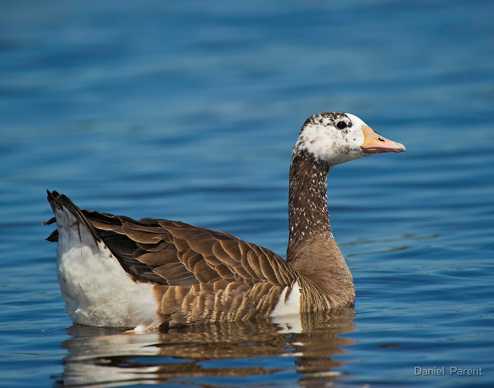 Not just another Goose by Daniel  Parent