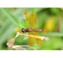 Male Eastern Amberwing Photographic Print