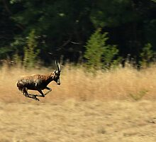 Buck in a hurry by Tugela