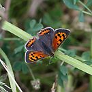 Small Copper by dilouise