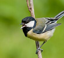 Singing Great tit  by M.S. Photography/Art
