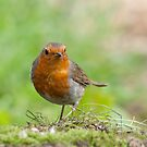Robin in the grass by M.S. Photography/Art