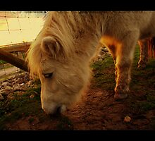 A small Pony by SylviaHardy