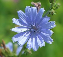 Chicory Blue by lorilee