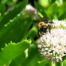 Bees on flower (2) by kaine23