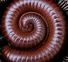 A Curled Giant African Train Millipede by AnnDixon