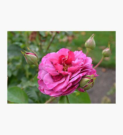 Beautiful Rose Photographic Print