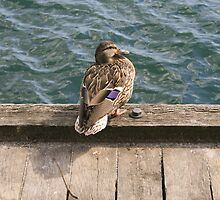 Duck! by Jason Dymock Photography