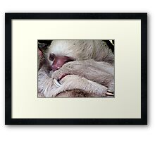 Two Toed Sloth Framed Print