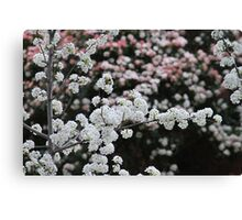 Spring's Blushes Canvas Print