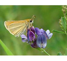 Sweet Alfalfa Photographic Print