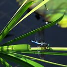 Dragonfly ... in blue by Judi Taylor