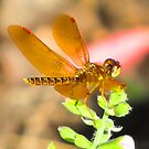 On Amber Wings by shutterbug2010