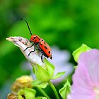Little Red Doodlebug by soniarene