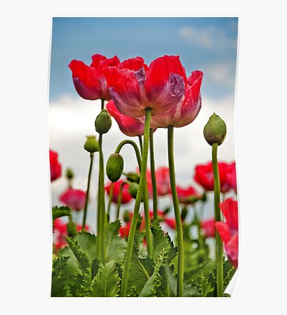 Oriental Poppies Poster