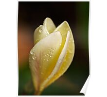 Frangipani in the rain (color) Poster