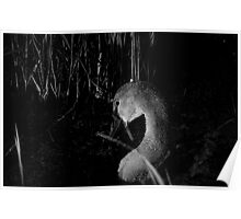 Baby swan in BW Poster