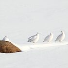 Ptarmigans, Churchill, Canada by Carole-Anne