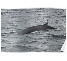 Cool Fin Whale Poster